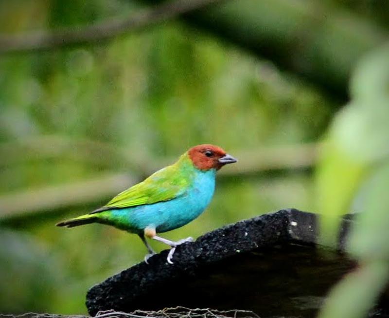 Siete colores, Avistameinto de Aves en el Quindio